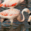 Phoenicopterus — Stock Photo