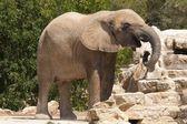 Elephantidae — Stock Photo