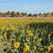 Stock Photo: I Girasoli