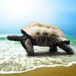 Постер, плакат: Big Turtle on the tropical oceans beach