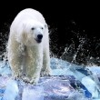 White Polar Bear Hunter on the Ice in water drops - Stock Photo