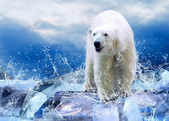 White Polar Bear Hunter on the Ice in water drops. — Стоковое фото