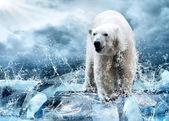 Bílý lední medvěd lovec na ledě v kapky vody — Stock fotografie