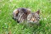 ładny kot na zielonej trawie — Zdjęcie stockowe