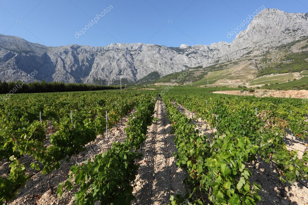 View of a vineyard in Dalmatia, Croatia — Stock Photo #6243957