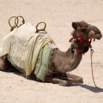 Camel on the beach in Dubai — Stock Photo