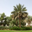 Palm Trees in Al Ain, Oasis City — Stockfoto