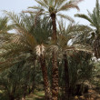 Date Palm Trees in the Oasis - Foto Stock