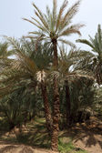 Date Palm Trees in the Oasis — Stock Photo