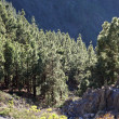 Forest in the mountains of Canary Island Tenerife, Spain — Stock Photo #6376999