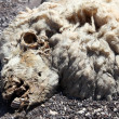Closeup of dead sheep head — Stock Photo
