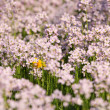 Beautiful meadow with cuckoo flowers in spring — Stock Photo