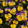 Colorful viola tricolor flowers in garden — Stock Photo