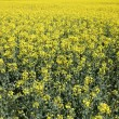 Yellow rape field blooming in spring — Stock Photo