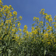 Rape flowers against blue sky — Stock Photo