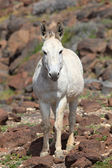 White donkey in the desert — Stock Photo