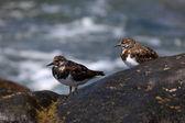 Uccelli di surf sull'oceano — Foto Stock