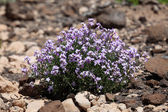 Desert flowers. Canary Island Fuerteventura, Spain — Stock Photo