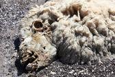 Closeup of dead sheep head — Stock Photo