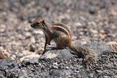 Esquilo em canárias ilha de fuerteventura, espanha — Foto Stock