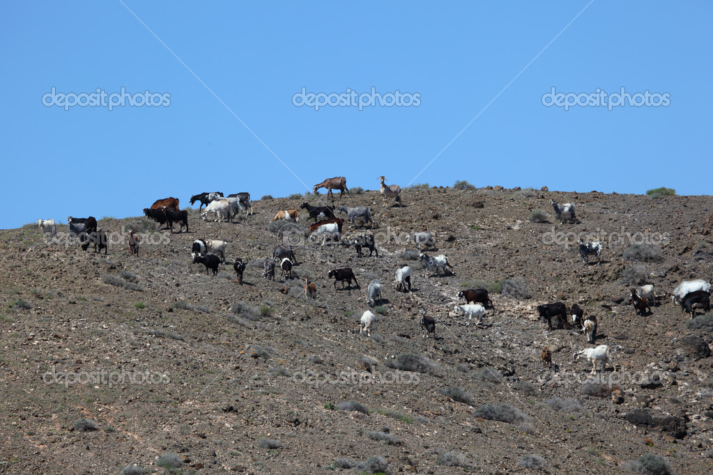 Goats on Canary Island Fuerteventura, Spain  Stock Photo #6376493