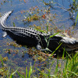 Stock Photo: AmericAlligator in Everlades, Florida
