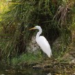 Great white Egret in the Everglades National Park, Florida — Stock Photo