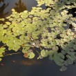 Lilly pond — Foto Stock