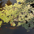 Stock Photo: Lilly pond