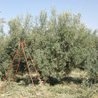 Olive trees plantation in Morocco - Stock Photo
