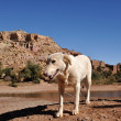 Royalty-Free Stock Photo: White dog and casbah Ait Benhaddou, Morocco Africa