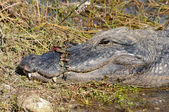 American Alligator — Foto de Stock