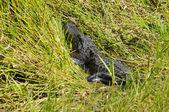 Alligatore americano — Foto Stock