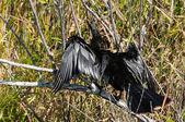 Anhinga bird drying his wings — Stock Photo