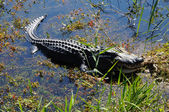 American Alligator in the Everlades, Florida — 图库照片