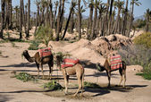 Three camels waiting for tourists in Marrakech, Morocco — Stock Photo