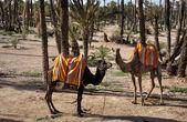Camellos esperando a los turistas en marrakech, marruecos — Foto de Stock