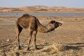 Camel in the Sahara — Stock Photo