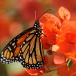 Monarch Butterfly — Foto Stock #6391268