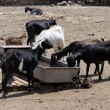 Stock Photo: Goats at drinking trough