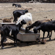Goats at the drinking trough — Stock Photo