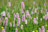 Purple clover flowers in the field — Stock Photo