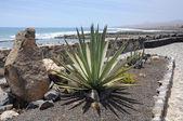 Kaktüs promenade, fuerteventura — Stok fotoğraf