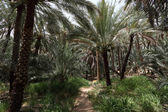 Date Palm Trees in the Oasis of Al Ain — Stock Photo