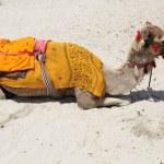 Camel on the beach in Dubai — Stock Photo #6529293