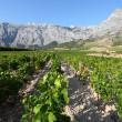 View of a vineyard in Dalmatia, Croatia — Stock Photo