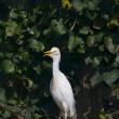 Cattle Egret Bubulcus ibis - Stock Photo