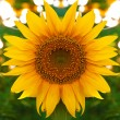 Sunflower — Stock Photo #6219628