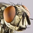 Head of horse fly with huge compound eye — Stock Photo #6238226