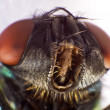 Housefly — Stock Photo